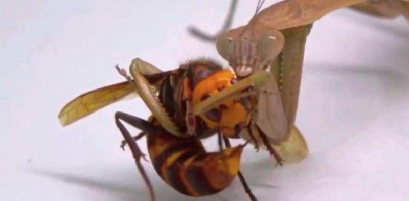 Mantis murder hornet
